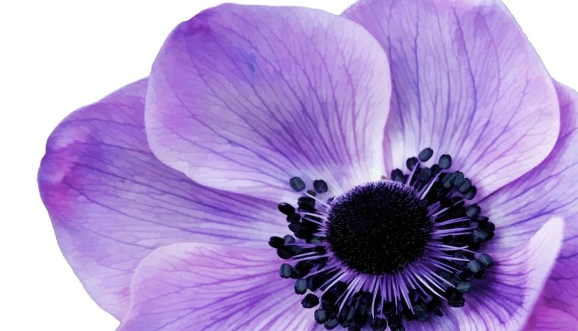 lila květ