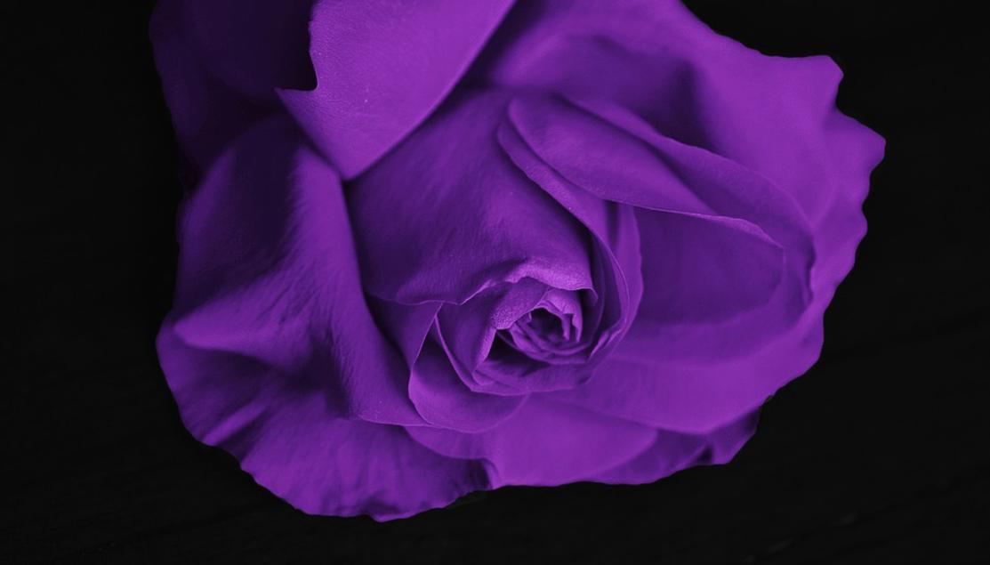 lila růže